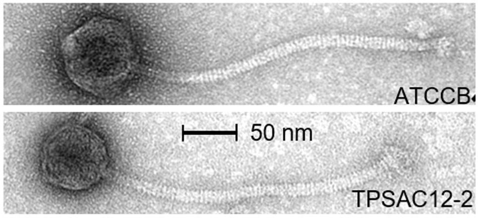 Electron micrographs of morphotype 3 phages from this study.